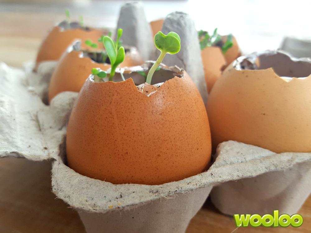 semis en coquille wooloo